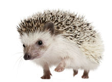 Four-toed Hedgehog, Atelerix albiventris Royalty Free Stock Image