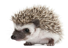 Four-toed Hedgehog, Atelerix albiventris stock image