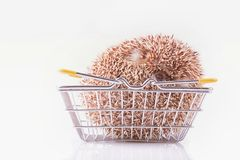 Four-toed Hedgehog, Atelerix albiventris, balled up in blangket for shopping in front of white background stock photography