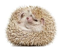 Four-toed Hedgehog, Atelerix albiventris, 2 years old, balled up. In front of white background Stock Images