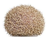 Four-toed Hedgehog, Atelerix albiventris, 2 years old, in front Stock Photography