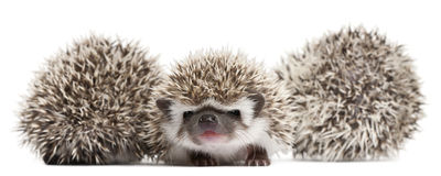 Four-toed Hedgehogs, Atelerix albiventris stock photo