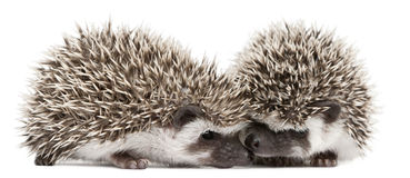 Four-toed Hedgehogs, Atelerix albiventris stock image