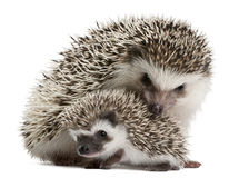 Four-toed Hedgehogs, Atelerix albiventris stock photos