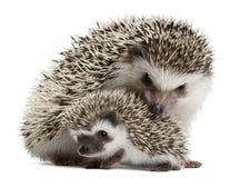 Four-toed Hedgehogs, Atelerix albiventris Stock Photos