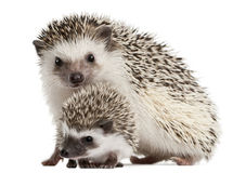 Four-toed Hedgehogs, Atelerix albiventris Royalty Free Stock Photos