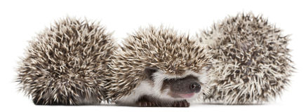 Four-toed Hedgehogs, Atelerix albiventris Stock Images