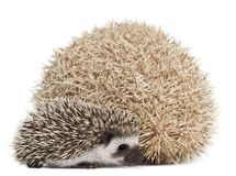 Four-toed Hedgehogs, Atelerix albiventris, 3 weeks old. In front of white background Stock Photography