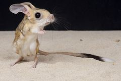 Four-toed jerboa / Allactaga teradactyla. The four-toed jerboa is a unique, kangaroo like rodent endemic to coastal areas of Egypt and Libya. They are considered Stock Image