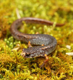 Four-toed salamander Royalty Free Stock Images