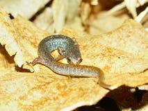 Four-toed Salamander (Hemidactylium scutatum) Stock Photography