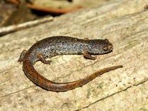 Four-toed Salamander Hemidactylium scutatum Royalty Free Stock Image