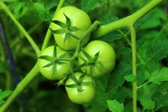 Four tomato. On a green branch four cute green tomatoes Stock Photo