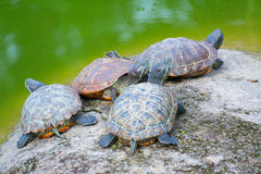 Four tortoises Stock Images