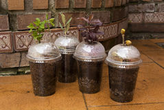 Four Tree Varieties in home-made slip propagators royalty free stock photography