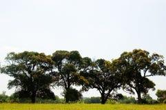 Four Trees. Acacia Trees are common sight around the Philippines Stock Photos