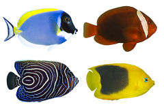 Four Tropical Fishes isolated Royalty Free Stock Photo