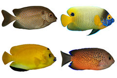 Four Tropical Fishes isolated on white Stock Photos