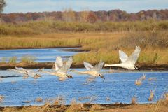 Four Trumpeter Swans Taking Flight Stock Photos