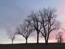 Four Tall Winter Trees Silhouette on Hill at Sunset with Pink and Blue Sky stock image