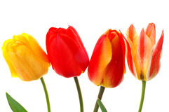 Four tulips Royalty Free Stock Photo
