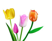 Four Tulips. Group of four tulip flowers isolated on white Stock Photo
