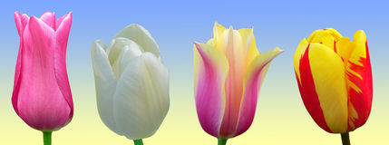 Four tulips Stock Photos
