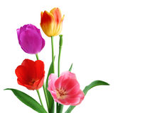 Four Tulips Stock Photography