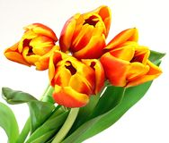 Four tulips. On white background Stock Photo
