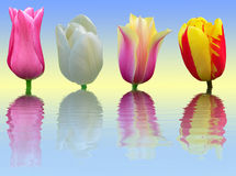 Four tulips on blue and yellow background Stock Photos