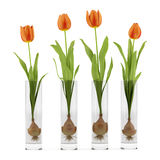 Four tulips in glass vases isolated on white Stock Image