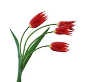 Four tulips isolated Stock Images