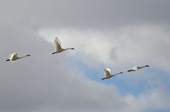 Four Tundra Swans Flying in a Cloudy Sky Stock Photo