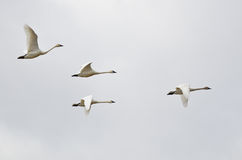 Four Tundra Swans Flying on a Light Background Stock Images