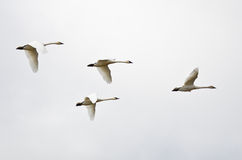 Four Tundra Swans Flying on a Light Background Royalty Free Stock Photo