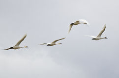 Four Tundra Swans Flying on a Light Background Stock Photos