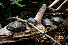 Four Turtles Resting on a Log Stock Image