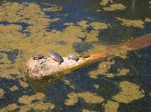 Four turtles sunning themselves on a log. stock image