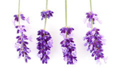 Four twigs of lavender flower Royalty Free Stock Image