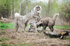 Four usky dog playing in autumn Stock Images