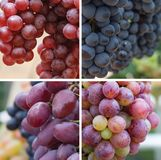Four varieties of grapes collage stock image