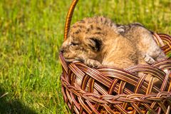 Four very small lion cubs are tired Stock Photo