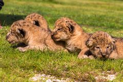 Four very small lion cubs are tired Stock Photography