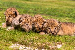 Four very small lion cubs are tired Stock Image