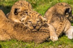 Four very small lion cubs are tired Royalty Free Stock Image