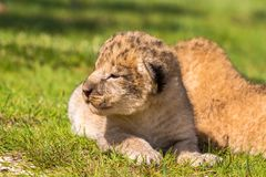 Four very small lion cubs are tired Royalty Free Stock Photography