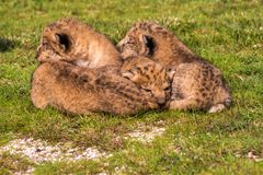 Four very small lion cubs are tired Stock Images