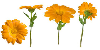 Four views of a yellow marigold Royalty Free Stock Image