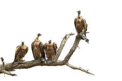 Four vultures on a branch Stock Photos
