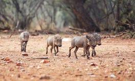 Warthog babies. Four warthog babies running in the bush Stock Images